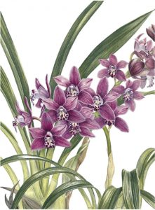 Miniature Cymbidium Orchid