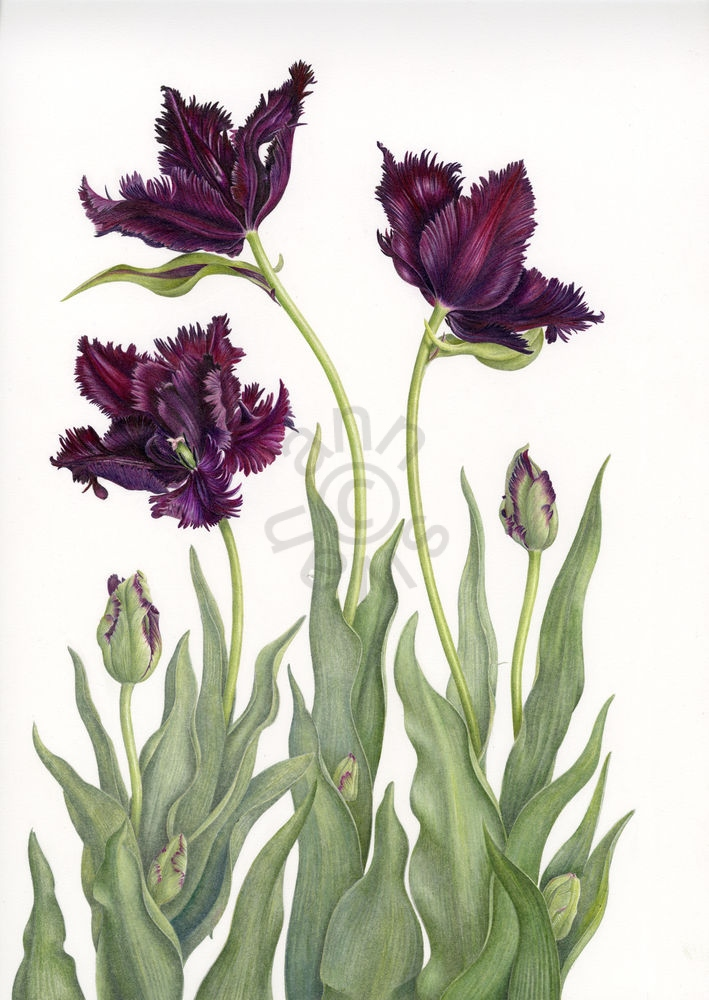 Black-Parrot-Tulips