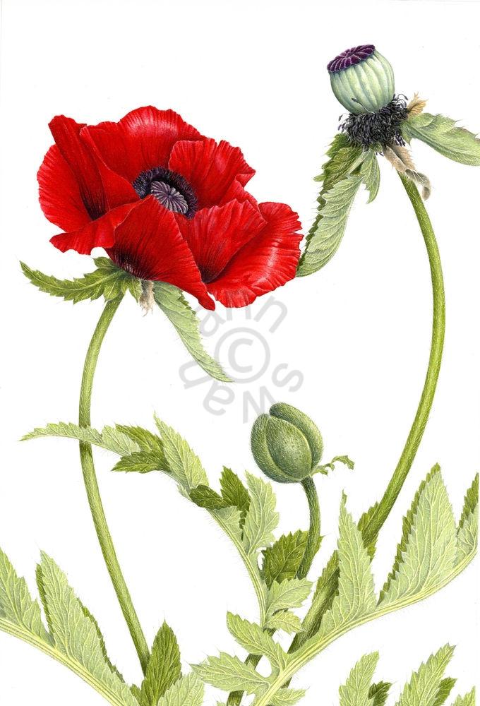 Oriental Poppy main