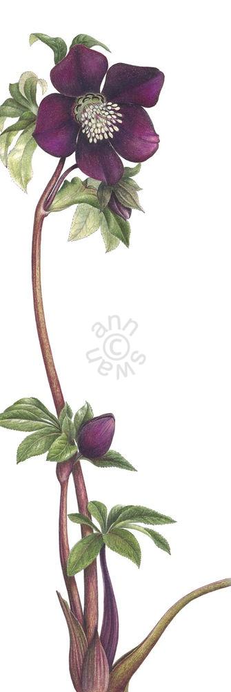 Purple-Hellabore