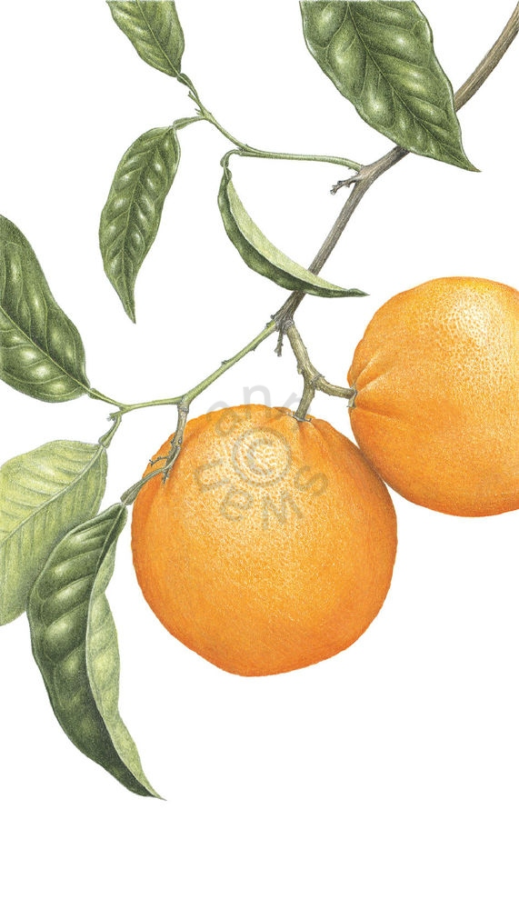 Spanish-Oranges