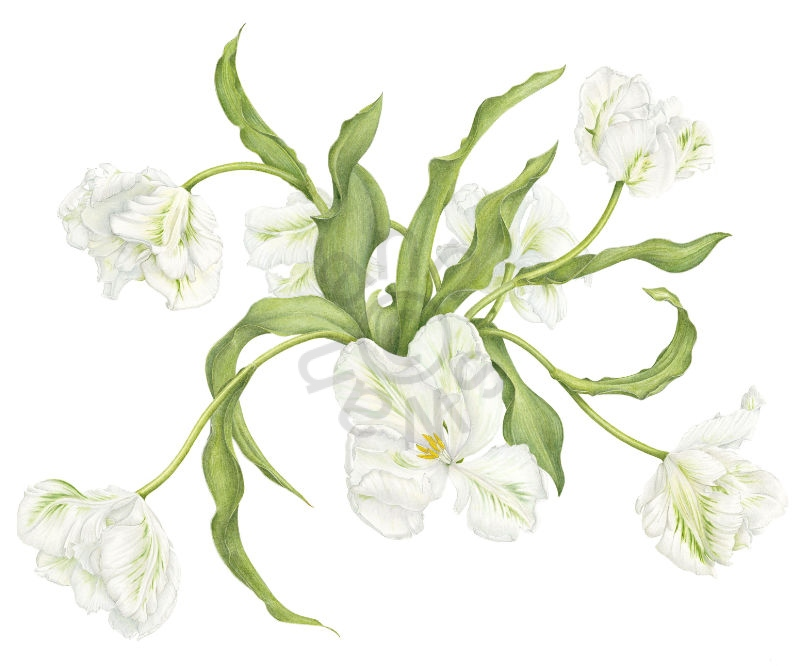 White-Parrot -Tulips-large