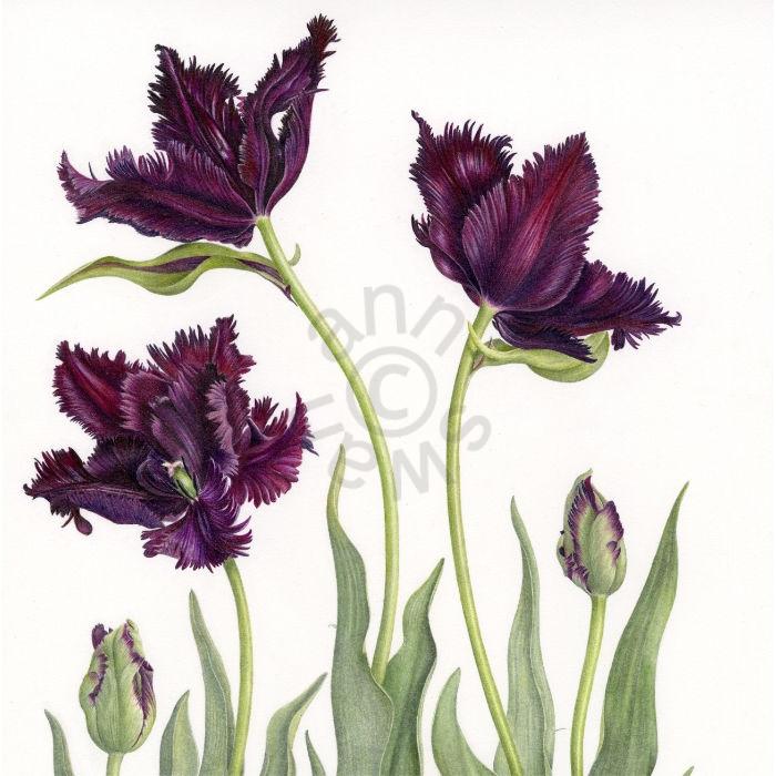 Black Parrot Tulips square main