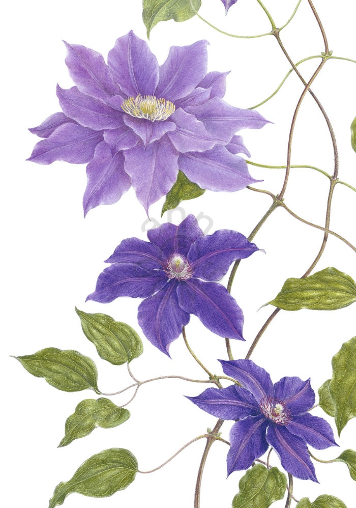 Clematis – 'Kingfisher' main