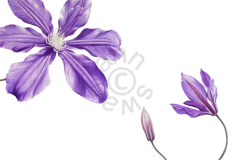 Clematis 'Vyvyan Pennell' main
