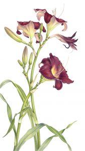 Hemerocallis – Day Lily