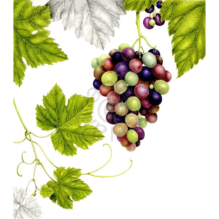 Grapes main
