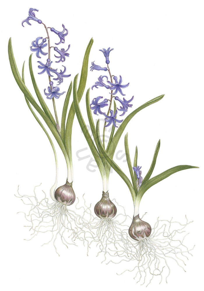 Roman Hyacinth main
