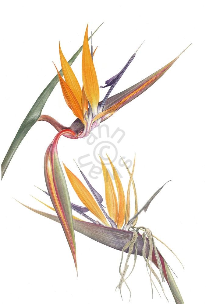 Strelitzia reginae main
