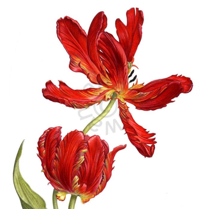 Tulip main