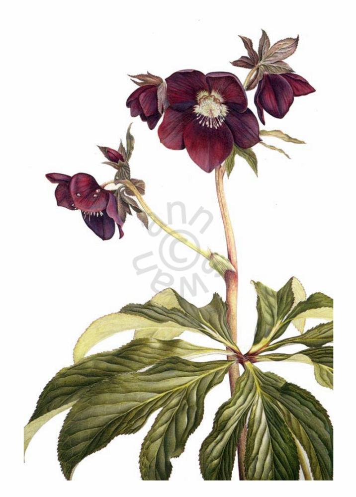 Helleborus-orientalis-large-card
