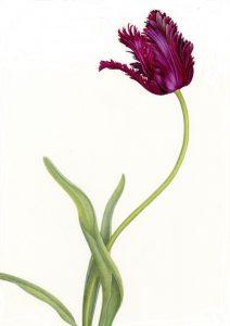 Single Parrot Tulip