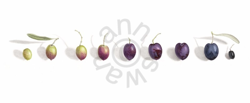 olivese-cropped2