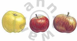 Five Apples Notecard