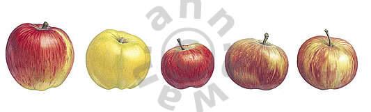 Five Apples Notecard