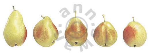 Five Pears Notecard