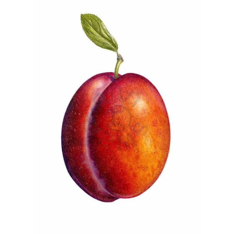 Single-Plum-square