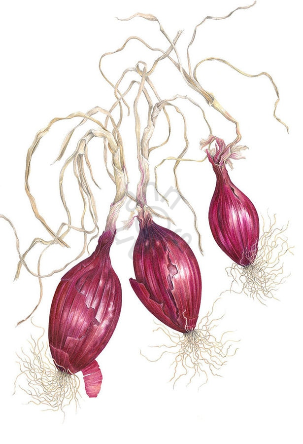Italian Onions main1