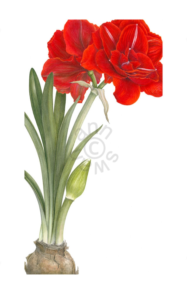 Red-Amarylis