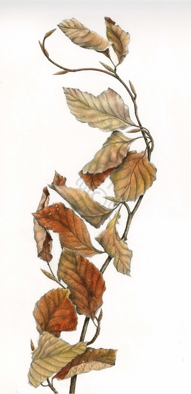 Beech-Leaves-main