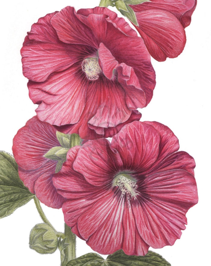 Hollyhock main