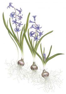 'Roman Hyacinths'