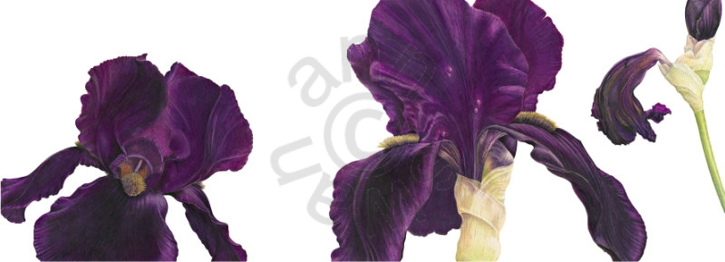 Tall-Bearded-Iris-Black-Swan-main