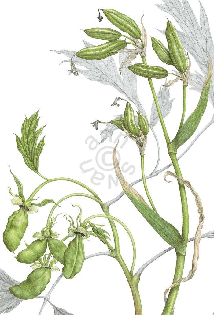 Tree Peony & Iris siberica Seedpods main