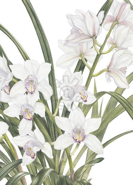 White Cymbidium Orchid main