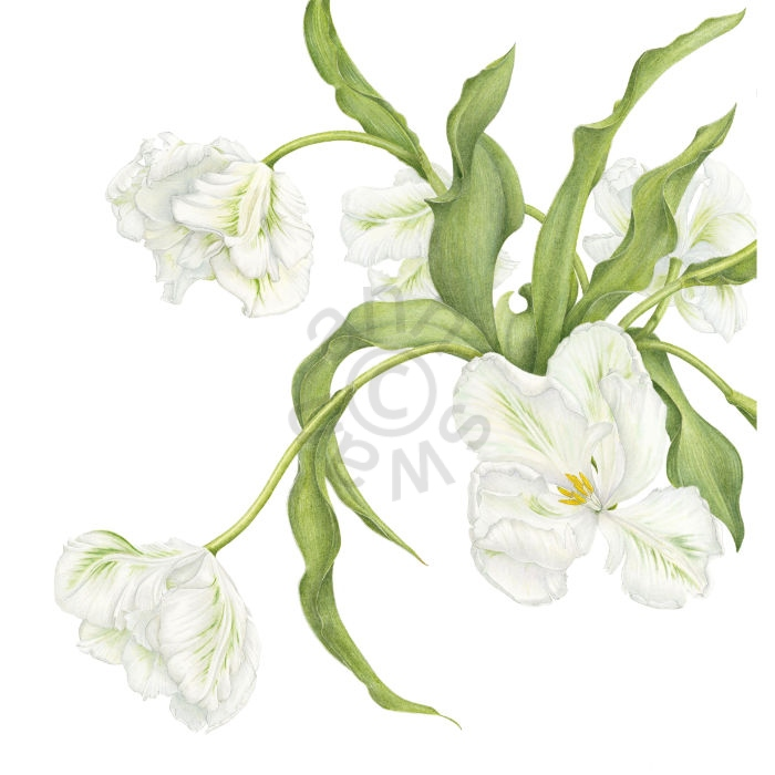White Parrot Tulips main