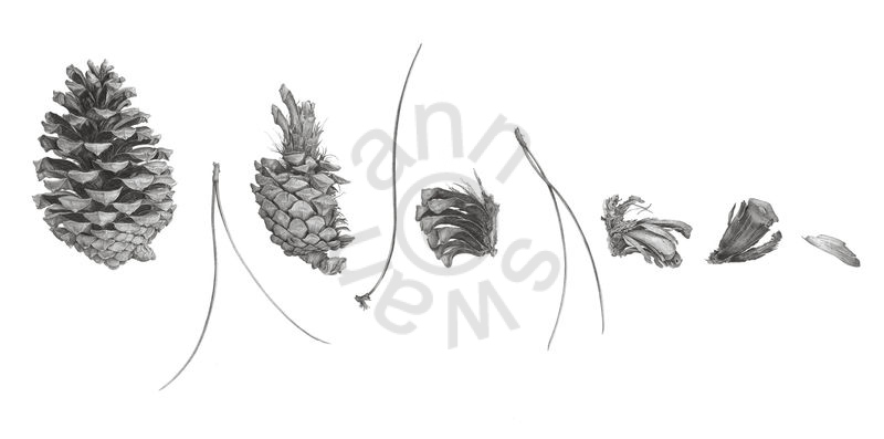 deconstructed pine cone main