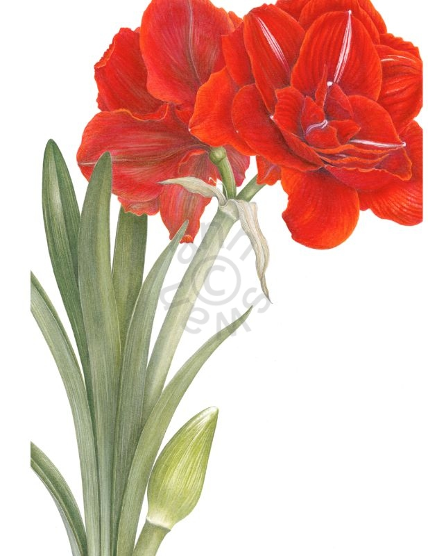 red-amaryllis-large-card