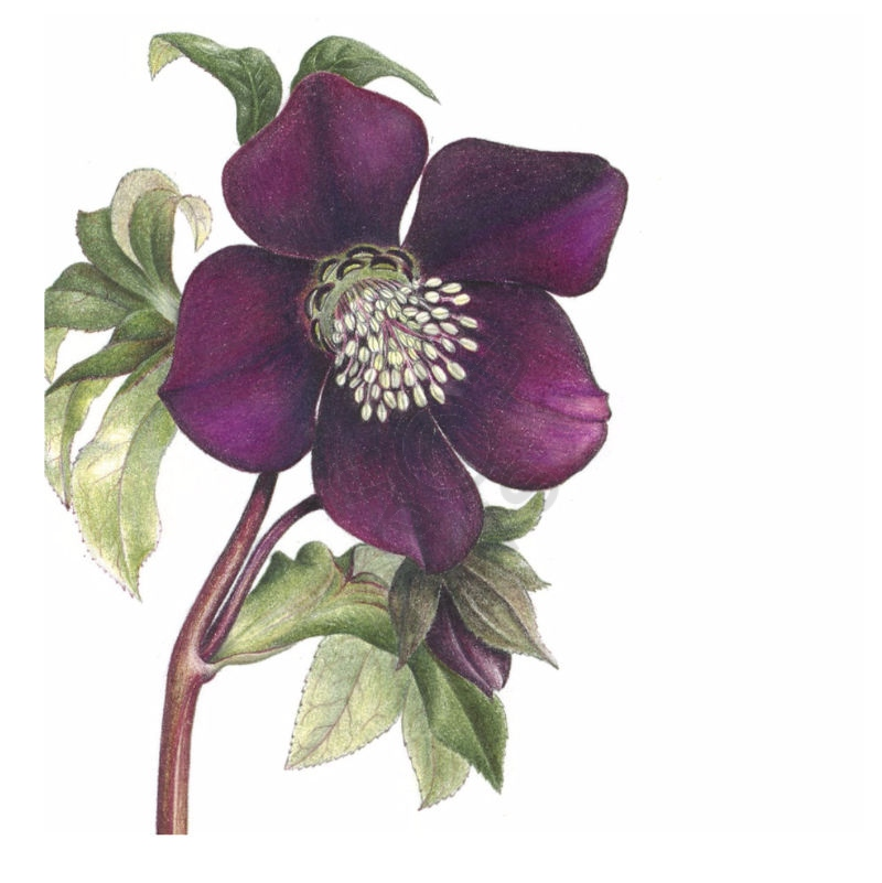 Hellebore-square-card