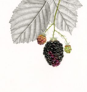 Coloured Pencil detailed drawing of Blackberries with leaves behind drawn in graphite