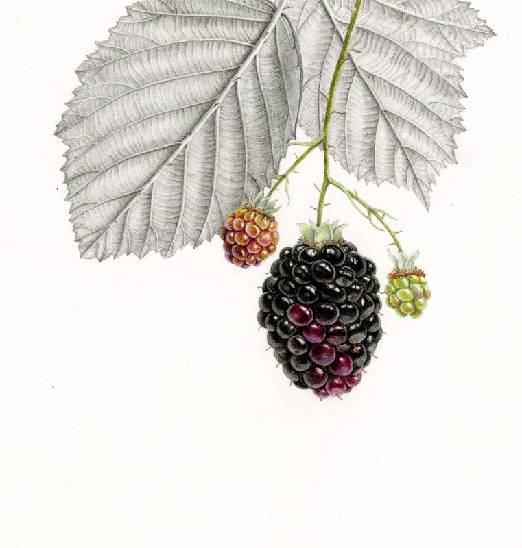Blackberries – Original Coloured Pencil and Graphite Drawing
