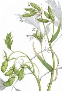 Tree Peony and Iris Siberica Seedpods