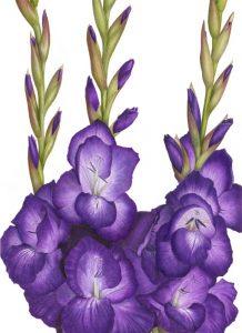 'Purple Glads'