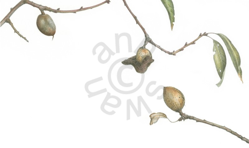 almonds – ripening