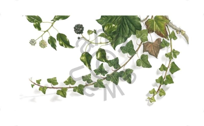 Ivy Large size