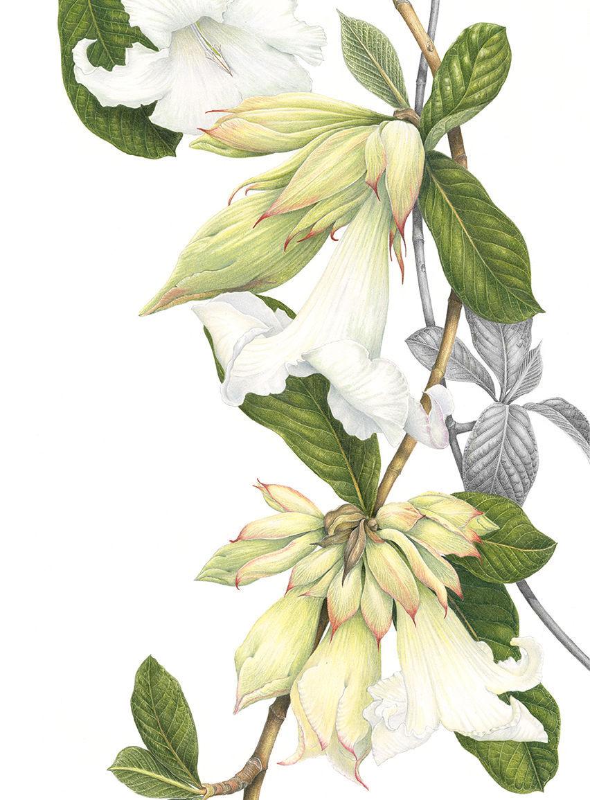 beaumontia card