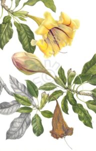 'Solandra grandiflora'