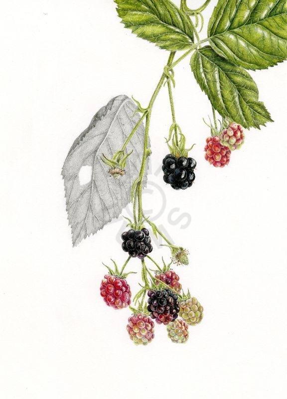 Blackberries 2