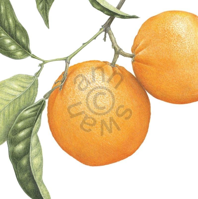 Oranges – Copy